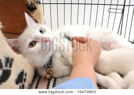 Veterinarian examining cute white cat with stethoscope, isolated on white poster