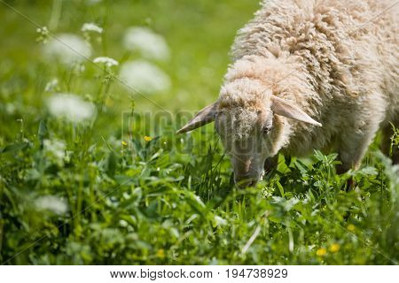 A sheep in a pasture of green grass. Sheep on an eco farm.