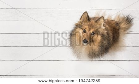 Adult shetland sheepdog seen from above sitting and looking up on a white wooden planks floor on the right side of the image with space for text on the left of the image