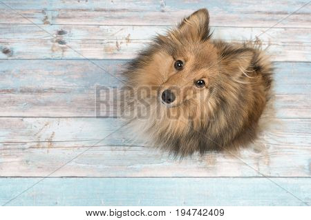 Adult shetland sheepdog seen from above looking up on a blue scaffolding wooden floor poster