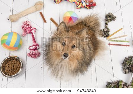 Adult shetland sheepdog seen from above looking up with on the floor all kinds of doggy stuff like bones toys and food