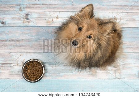 Adult shetland sheepdog seen from above looking up with full feeding bowl in front of her on a blue wooden floor