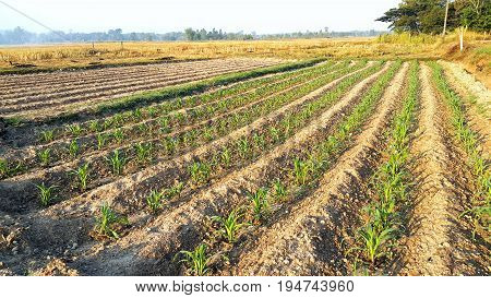 Agricultural field with rows of green young corn