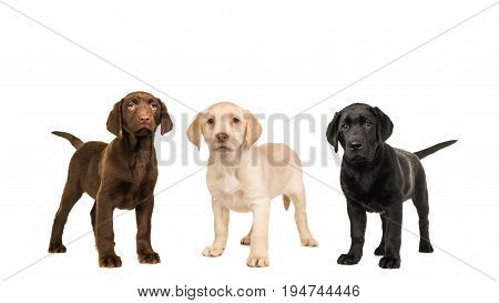 Three standing labrador puppy dogs in the official colors brown black blond isolated on a white background
