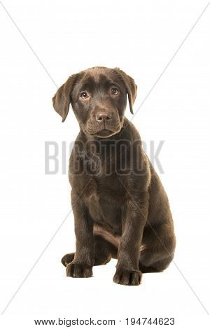 Sitting brown 4 monts old labrador retreiver puppy looking at the camera isolated on a white background