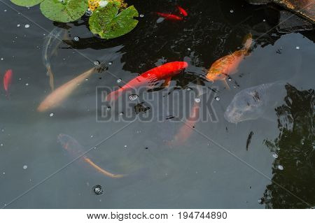 Colorful beautiful carp Koi carp in a natural pond.
