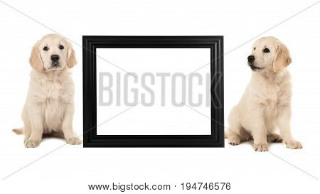 Two golden retriever puppy dogs sitting next to a black empty picture frame isolated on a white background