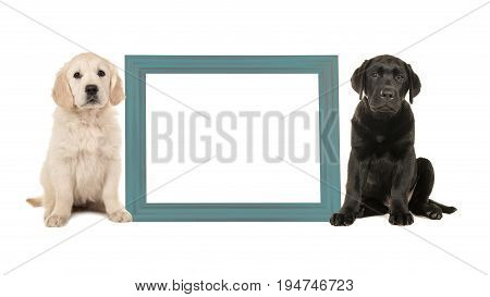Black labrador puppy dog and golden retriever puppy sitting next to a blue empty picture frame isolated on a white background