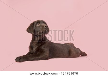 Brown labrador retriever puppy lying down on the floor seen from the side looking up on a pink background