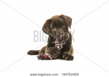 Brown labrador retriever puppy lying down seen from the front with its paws in front chewing on a knotted rope bone and looking cute straight at the camera isolated on a white background