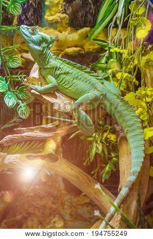 Beautiful close up photo of green lizard Plumed basilisk
