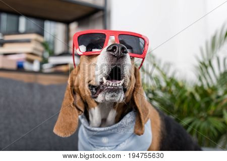 Funny Beagle Dog In Red Sunglasses And Bandana Sitting At Home