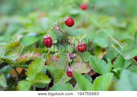Bushes of wild strawberries in the forest glade