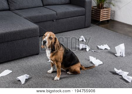 Guilty Beagle Dog With Torn Paper Sitting On Floor At Home