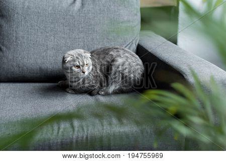 Grey Fluffy Scottish Fold Cat Lying On Sofa At Home