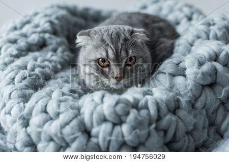 Grey Fluffy Scottish Fold Cat Lying On Wool Blanket In Bedroom