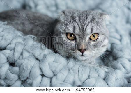 Grey Furry Scottish Fold Cat Lying On Wool Blanket In Bedroom