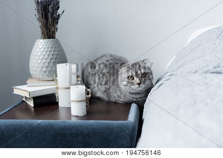Grey Scottish Fold Cat Lying On Nightstand With Candles And Books