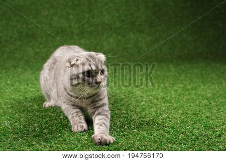 Fluffy Scottish Fold Cat Playing On Green Glass