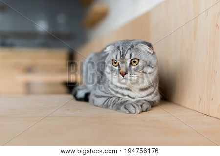 Fluffy Grey Scottish Fold Cat Lying On Wooden Surface