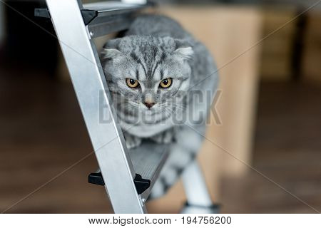 Fluffy Scottish Fold Cat Sitting On Metallic Ladder
