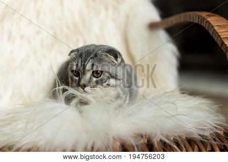 Fluffy Scottish Fold Cat Lying On Rocking Chair With Woolly Blanket