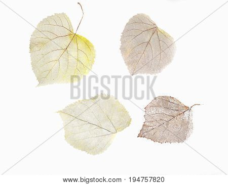 Herbarium from four dried skeleton leaves of birch tree and linden isolated on a white background