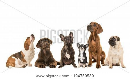 Group of various kind of purebred dogs sitting next to each other looking up isolated on a white background