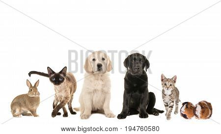 Group of variety of pets adult cat young cat puppy two retriever puppy dogs mixed breed and a guinea pig and a rabbit