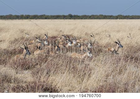 a herd of Springbok in the etosha national park