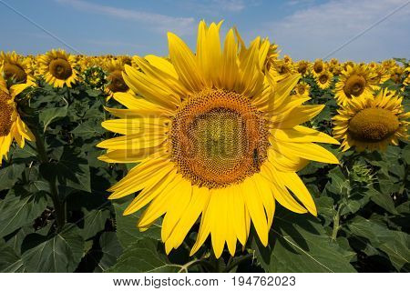 Sunflower agriculture field with yellow flowerheads in summer