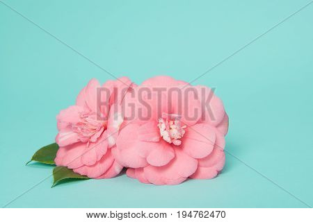 Two blooming pink camelia flowers on a blue background