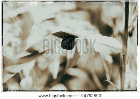 Old Fashioned Black And White Photo Of Grove Snail (cepaea Nemoralis) Adult, Congregated On Leaf.