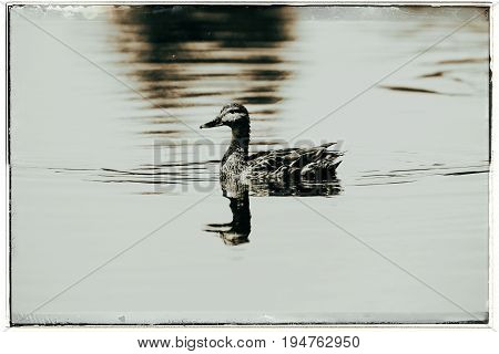 Old Fashioned Black And White Photo Of Portrait Of A Mallard Duck (anas Platyrhynchos) Swimming In D