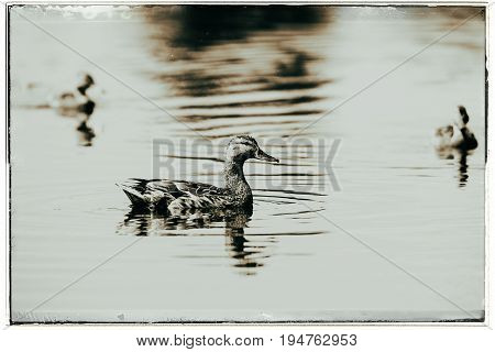 Old Fashioned Black And White Photo Of Three Female Mallard Ducks (anas Platyrhynchos) Swimming In D