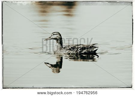 Old Fashioned Black And White Photo Of Mallard Duck (anas Platyrhynchos) Swimming In Ditch In Summer