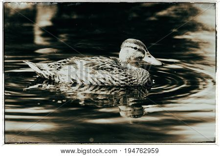 Old Fashioned Black And White Photo Of A Mallard Duck (anas Platyrhynchos) Swimming In Ditch In Summ