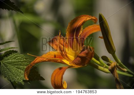 On a sunny clear summer day the large stamens and the yellow petals of the flower garden are very brightly lit.