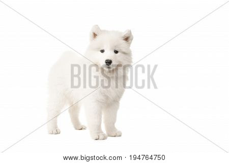 Cute standing white samoyed puppy dog seen from the side looking at the camera isolated on a white background