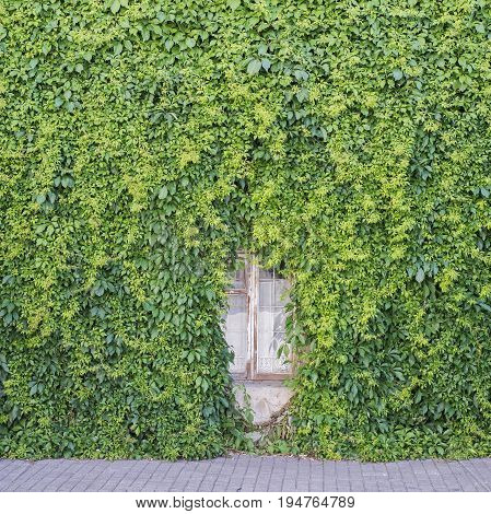 Green creeper plant covering half the window and the wall