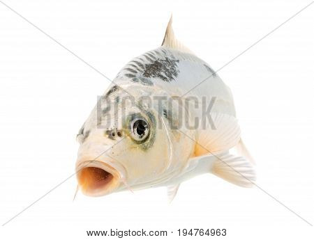 carp koi in front of white background