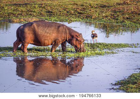 Hippopotamus in Kruger national park, South Africa ; Specie Hippopotamus amphibius family of Hippopotamidae