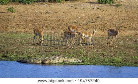 Nile crocodile and Impala in Kruger national park, South Africa ; Specie Crocodylus niloticus and Aepyceros melampus
