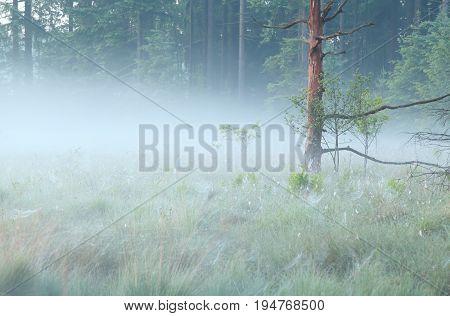 old tree on wild bog in morning mist