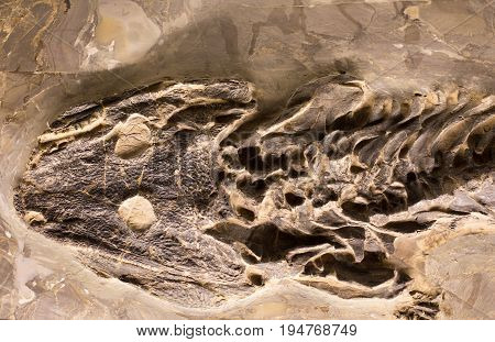 Fossils Of Amphibian In Rock