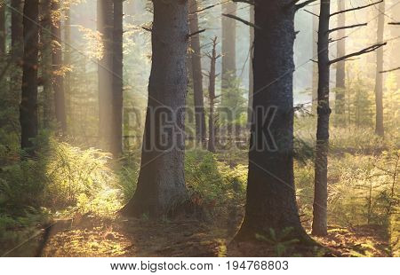 gold morning sunlight in old coniferous forest