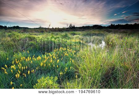 sunrise on wild swamp with bog asphodel bloom in summer
