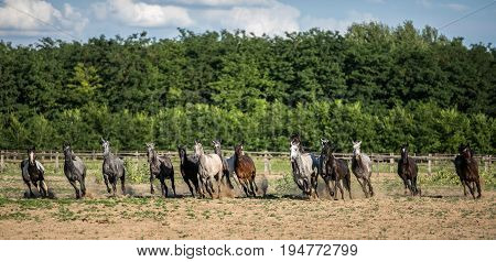 Panoramic side view shot of galloping horses at rural animal farm summertime