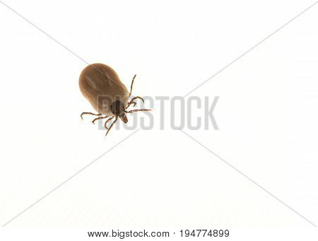 Tick filled with blood isolated on a white background