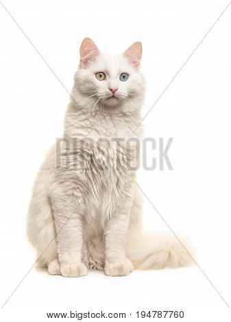 White turkish angora odd eye cat sitting not looking at the camera isolated on a white background